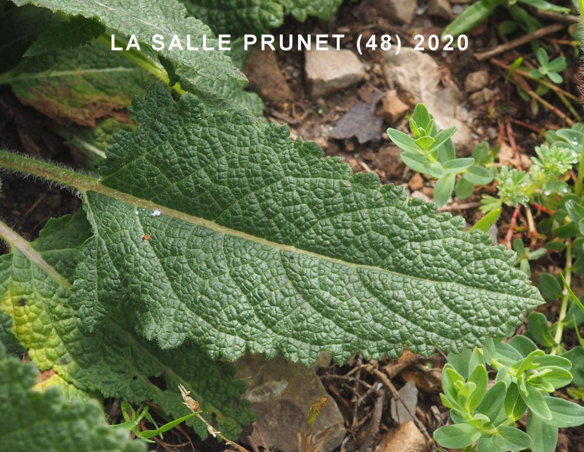 Meadow Clary leaf