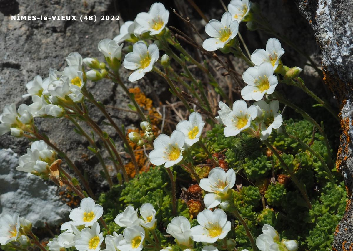 Saxifrage of the Cévennes flower