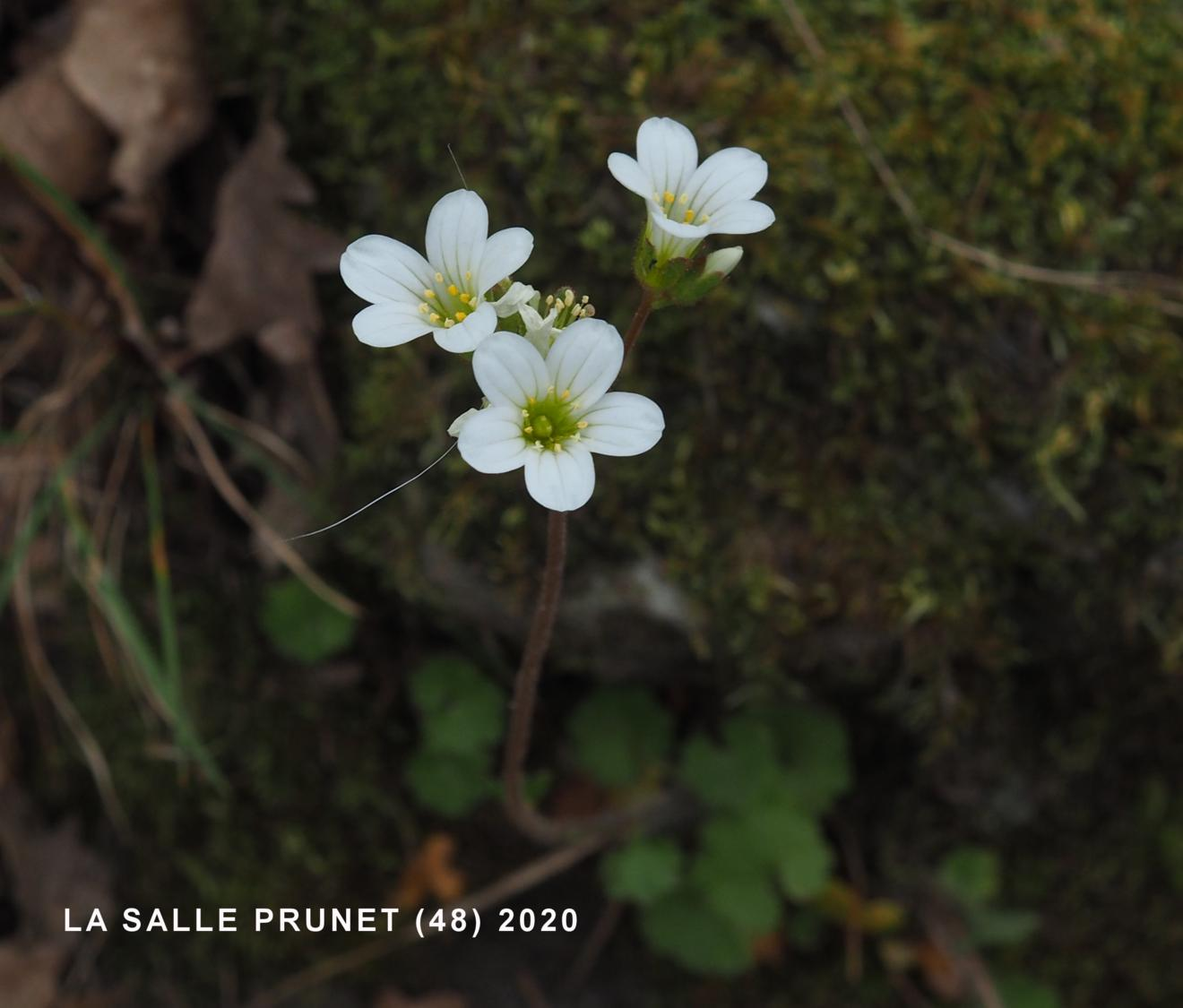 Saxifrage, Meadow