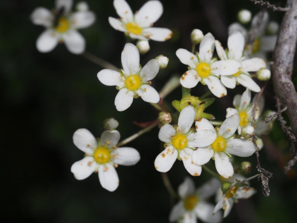 Saxifrage, Livelong flower