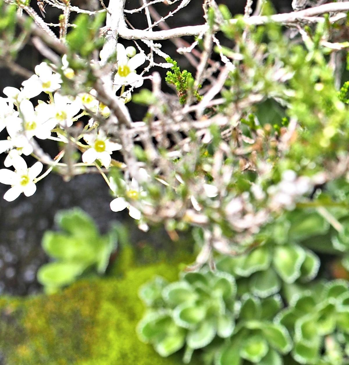 Saxifrage, Livelong fruit