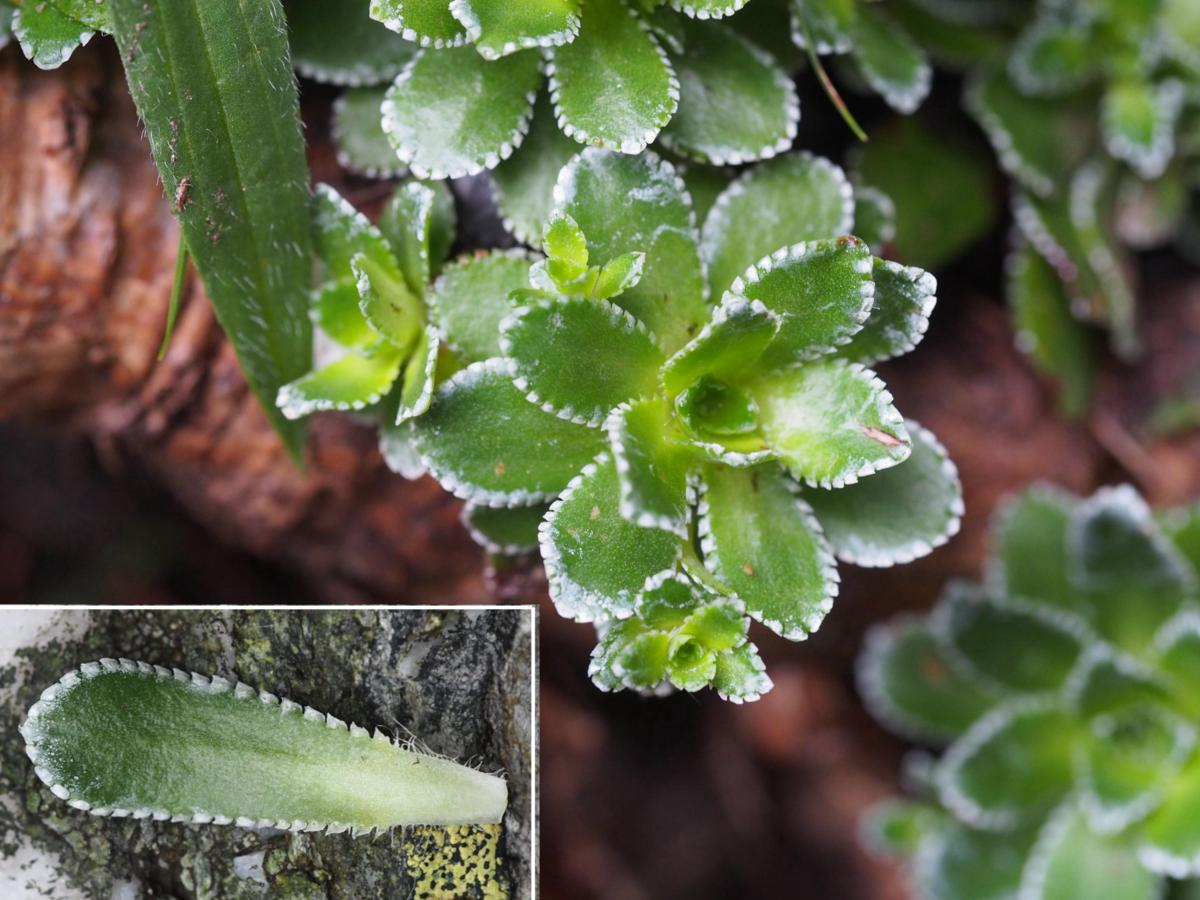 Saxifrage, Livelong leaf