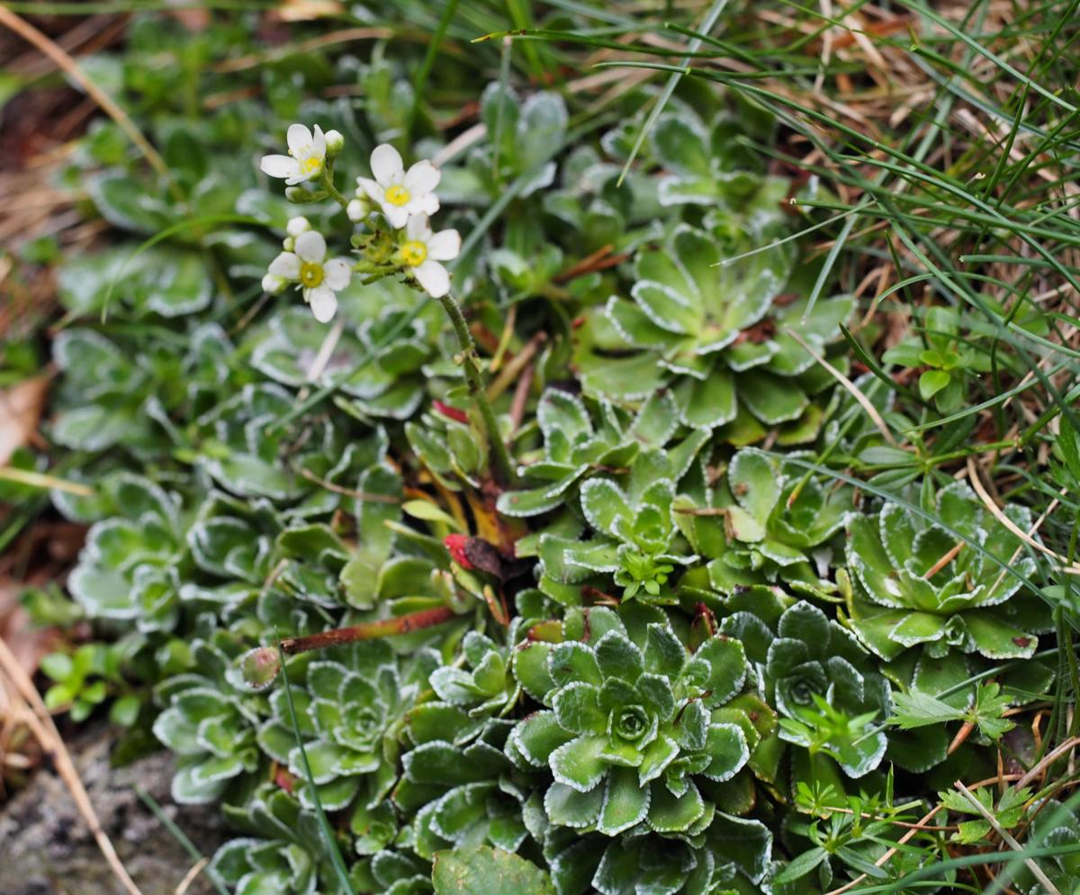 Saxifrage, Livelong plant