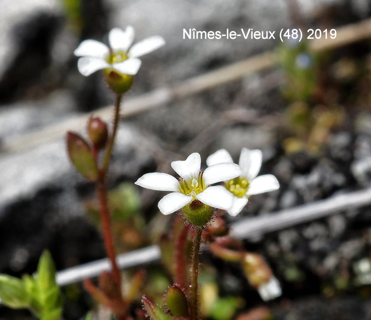 Saxifrage, Rue-leaved flower
