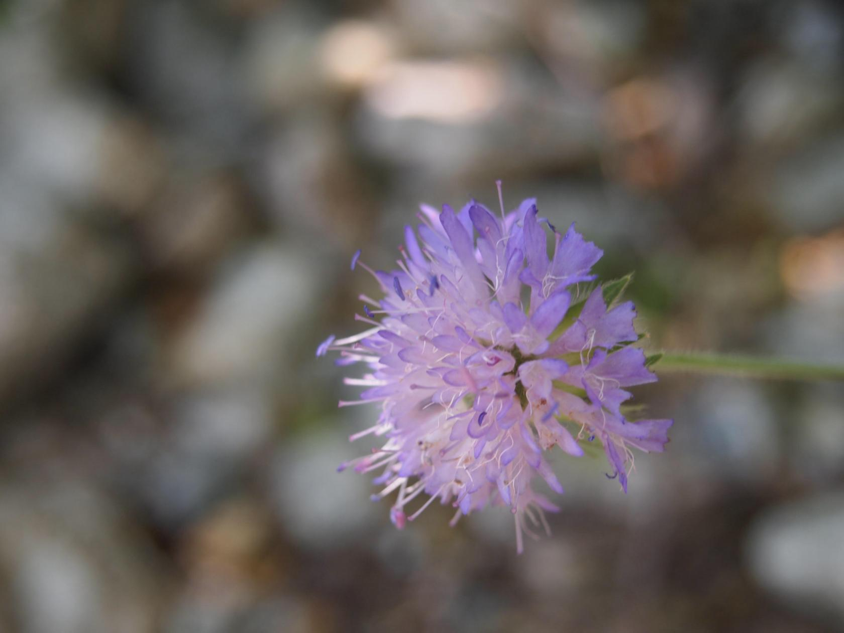 Scabious, (thrice divided)