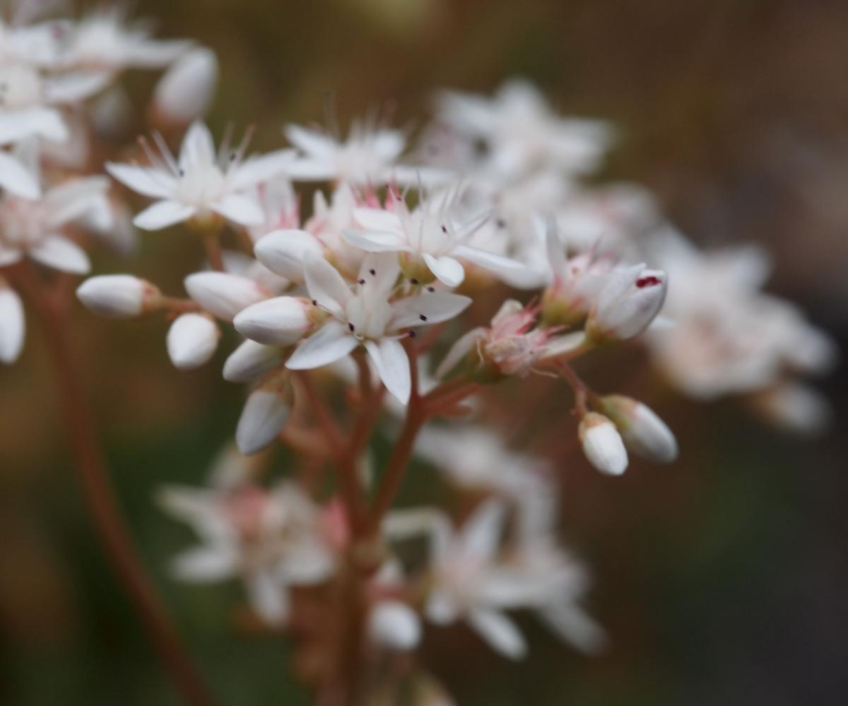 Stonecrop, White flower