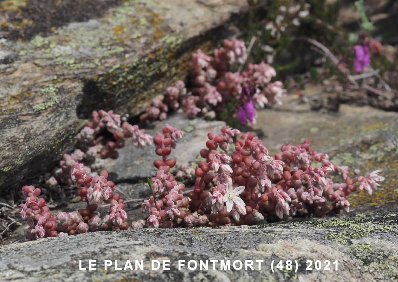Stonecrop, Short-leaved