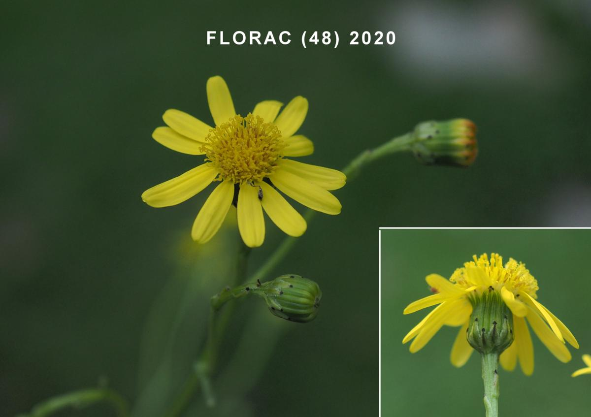Ragwort, Narrow-leaved flower