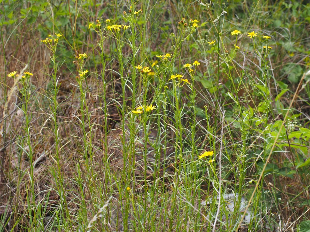 Ragwort, Narrow-leaved plant