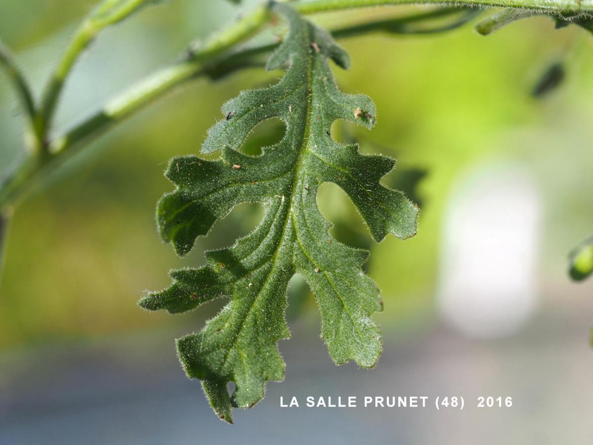 Groundsel, Sticky leaf