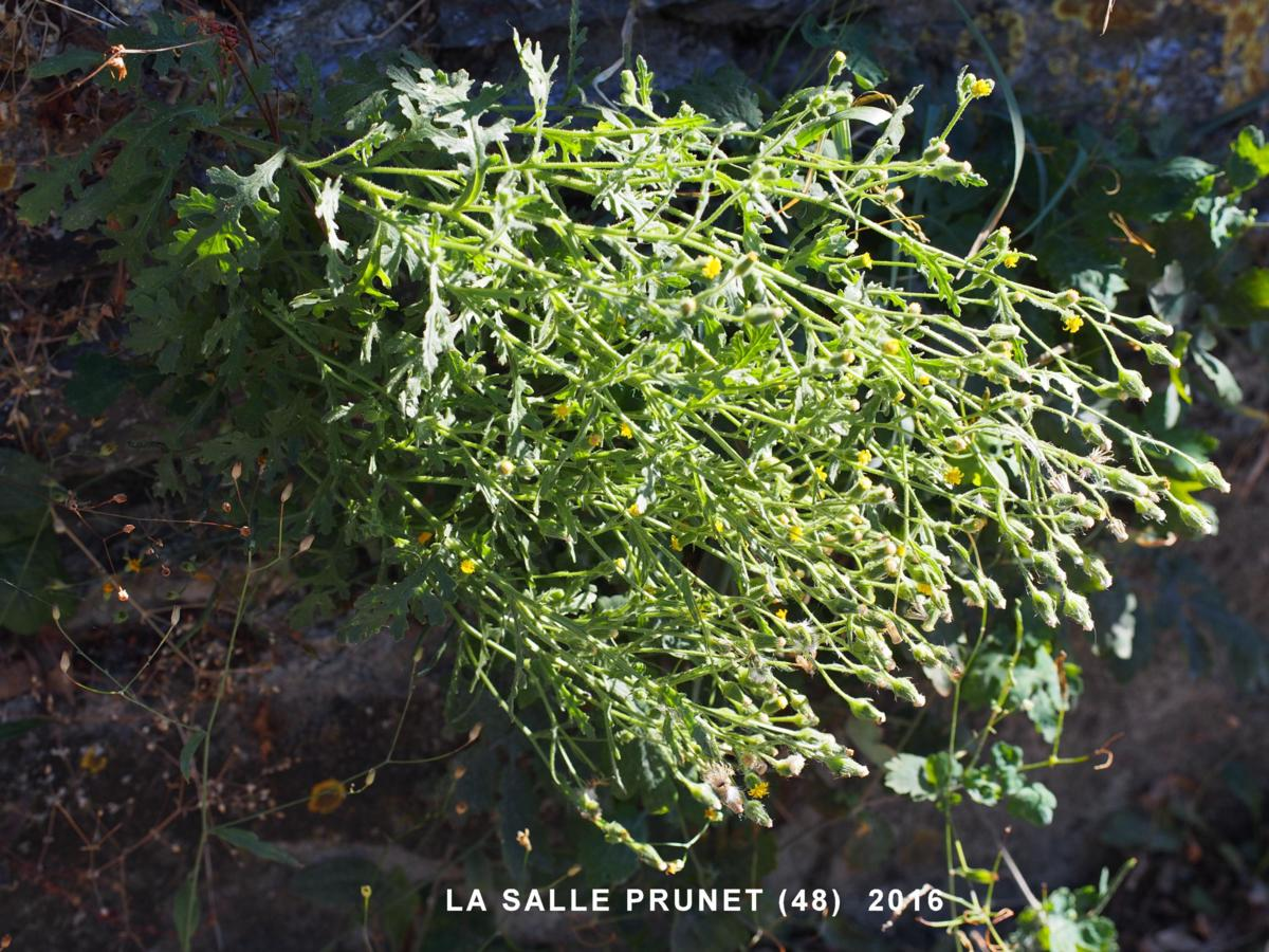 Groundsel, Sticky plant