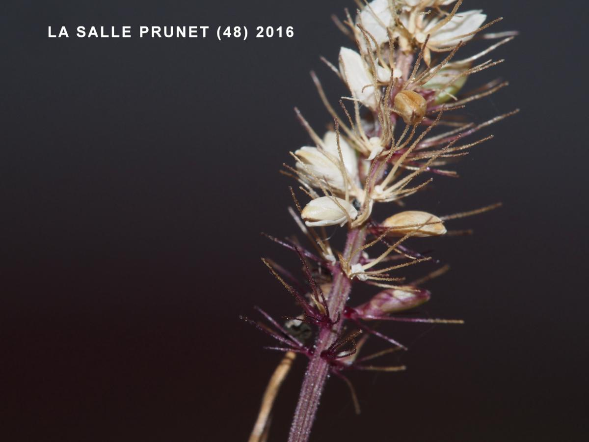 Bristle-grass, Hooked fruit