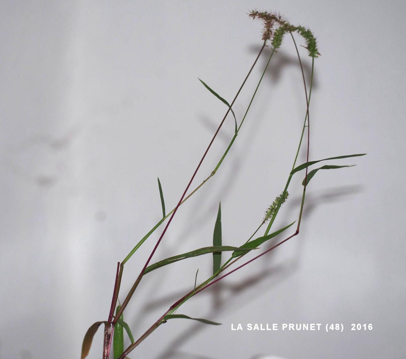 Bristle-grass, Hooked
