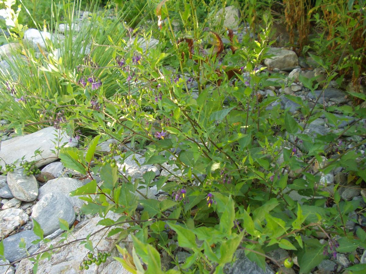 Nightshade, Woody plant