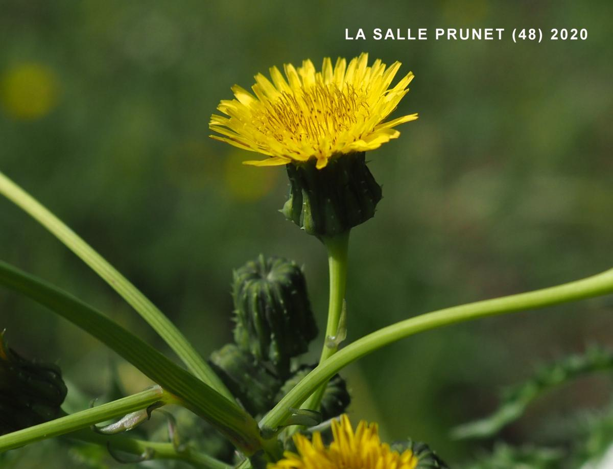 Sow-thistle, Prickly flower