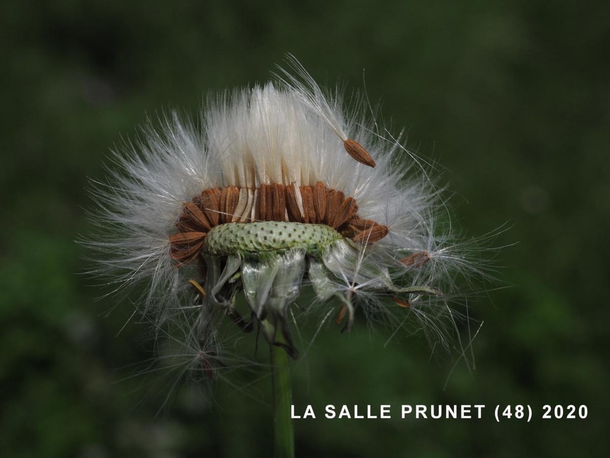 Sow-thistle, Common fruit