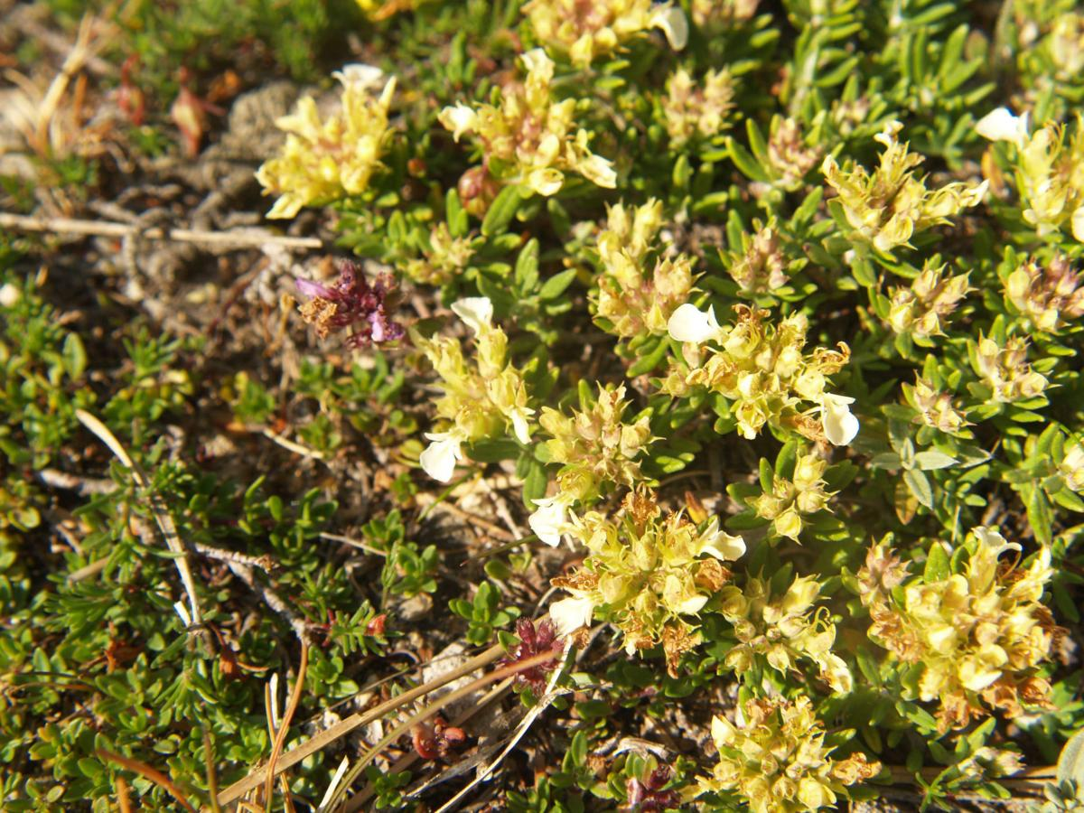 Germander, Mountain plant
