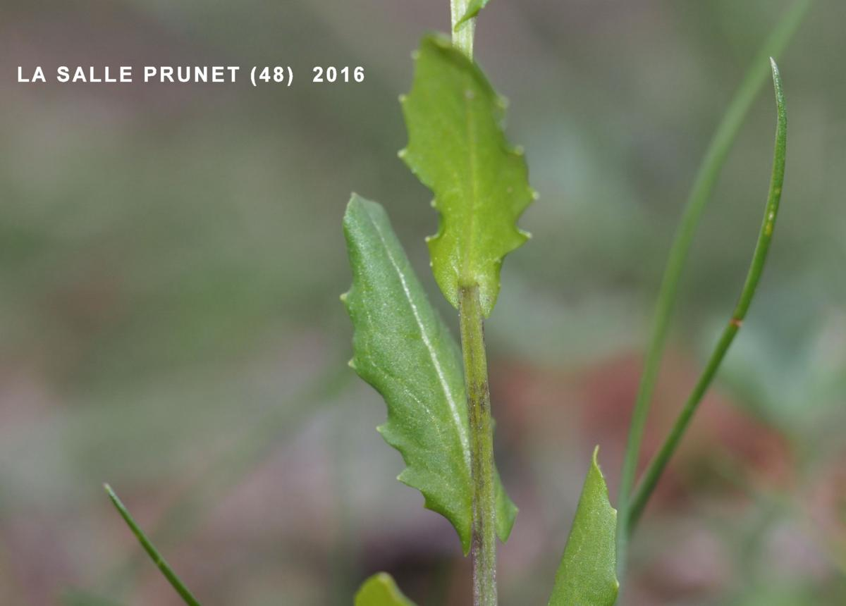 Pennycress leaf