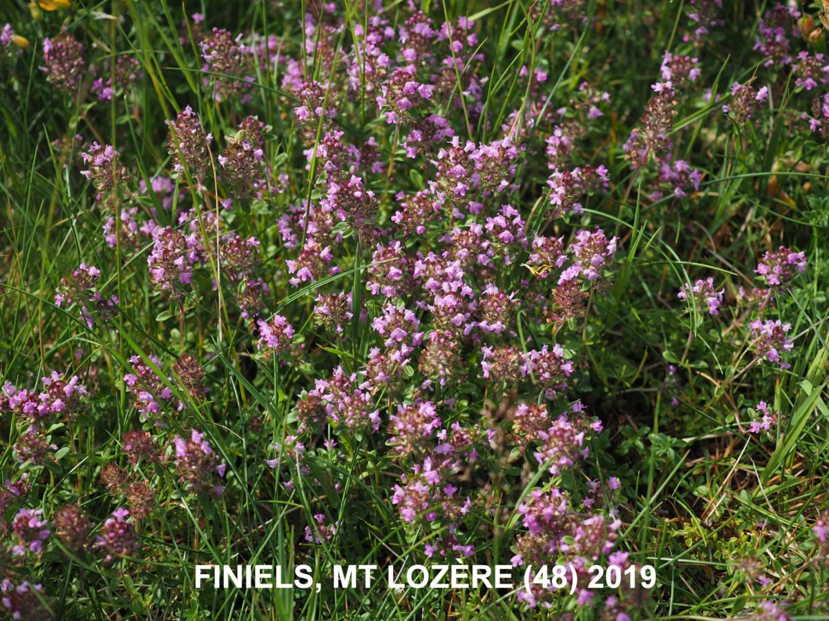 Thyme, Larger Wild plant