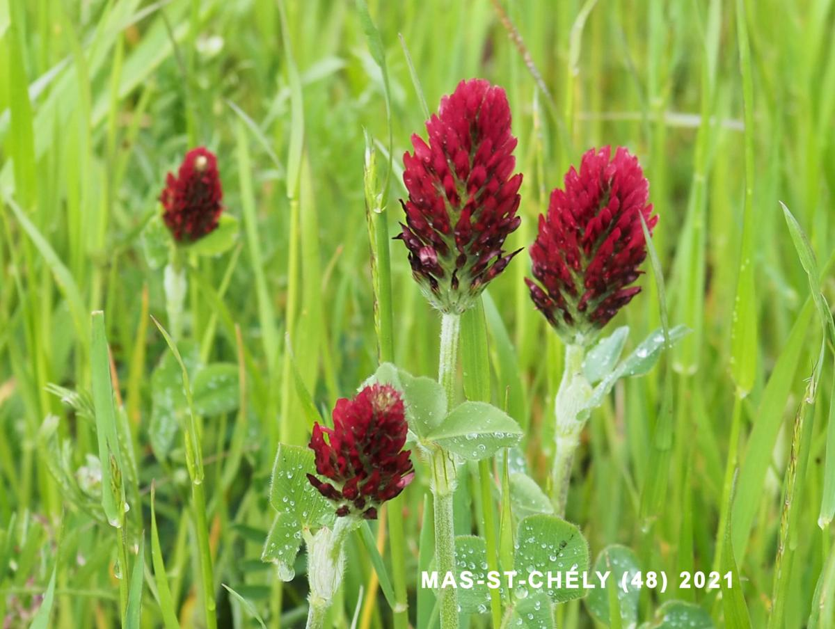 Clover, Crimson flower