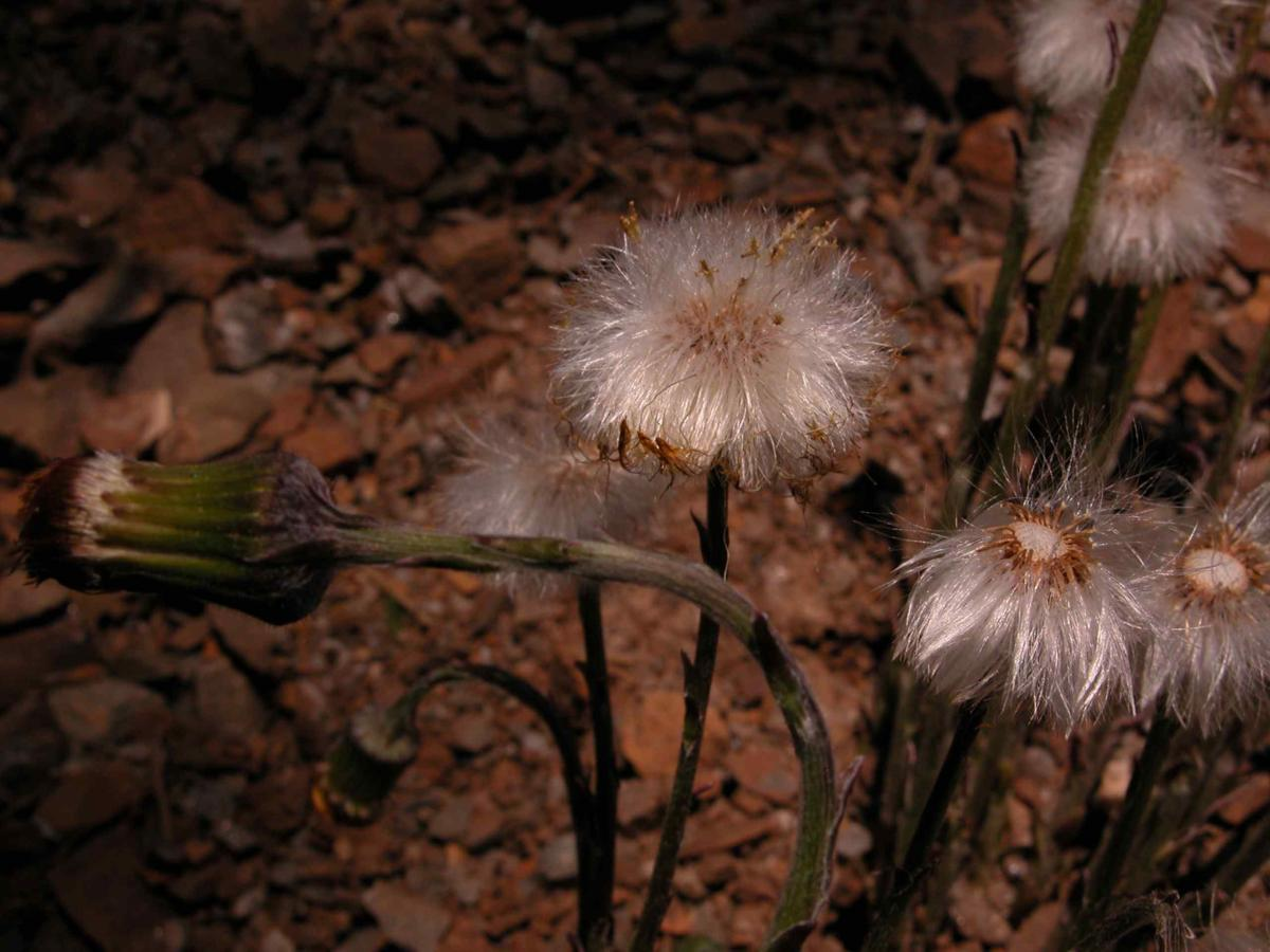 Coltsfoot fruit