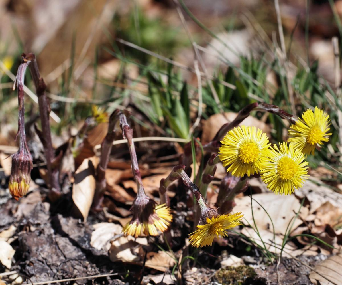 Coltsfoot plant