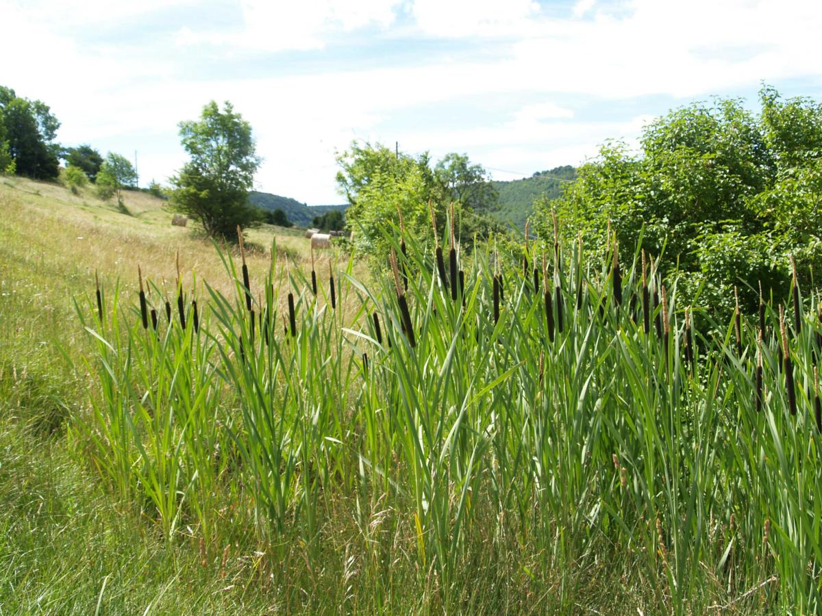 Reedmace, Greater plant