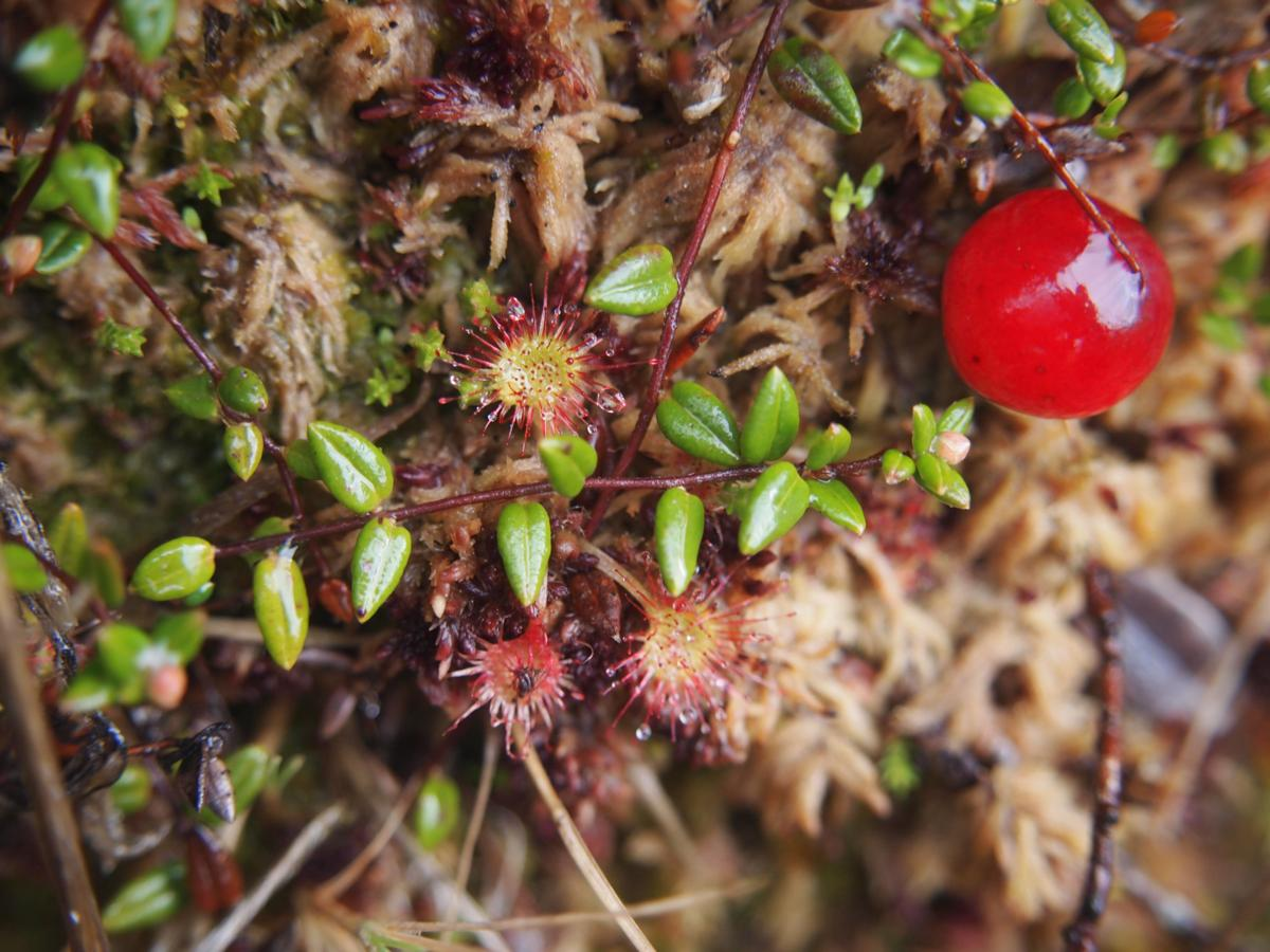 Cranberry, Small fruit
