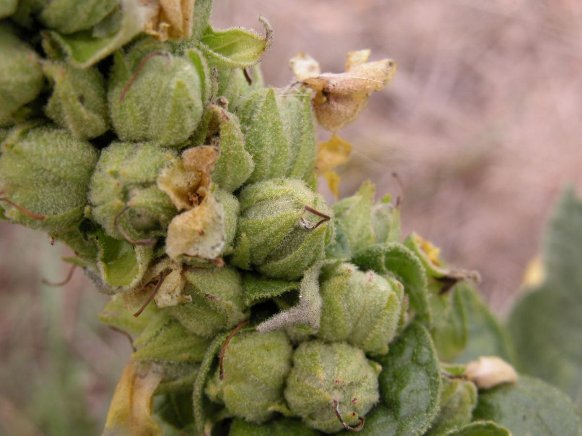 Mullein, Aaron's Rod fruit
