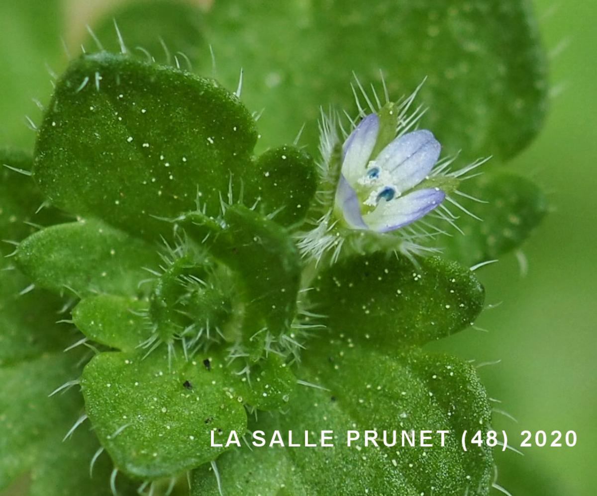 Speedwell, Ivy-leaved flower
