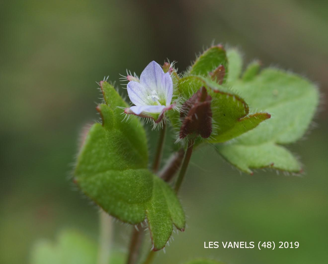 Speedwell, Ivy-leaved