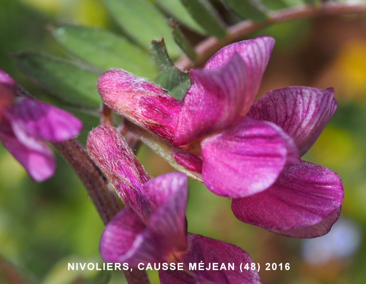 Vetch, (Hungarian) flower