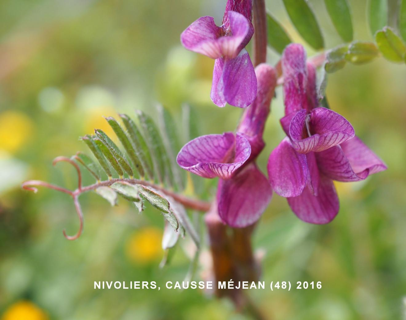 Vetch, (Hungarian)