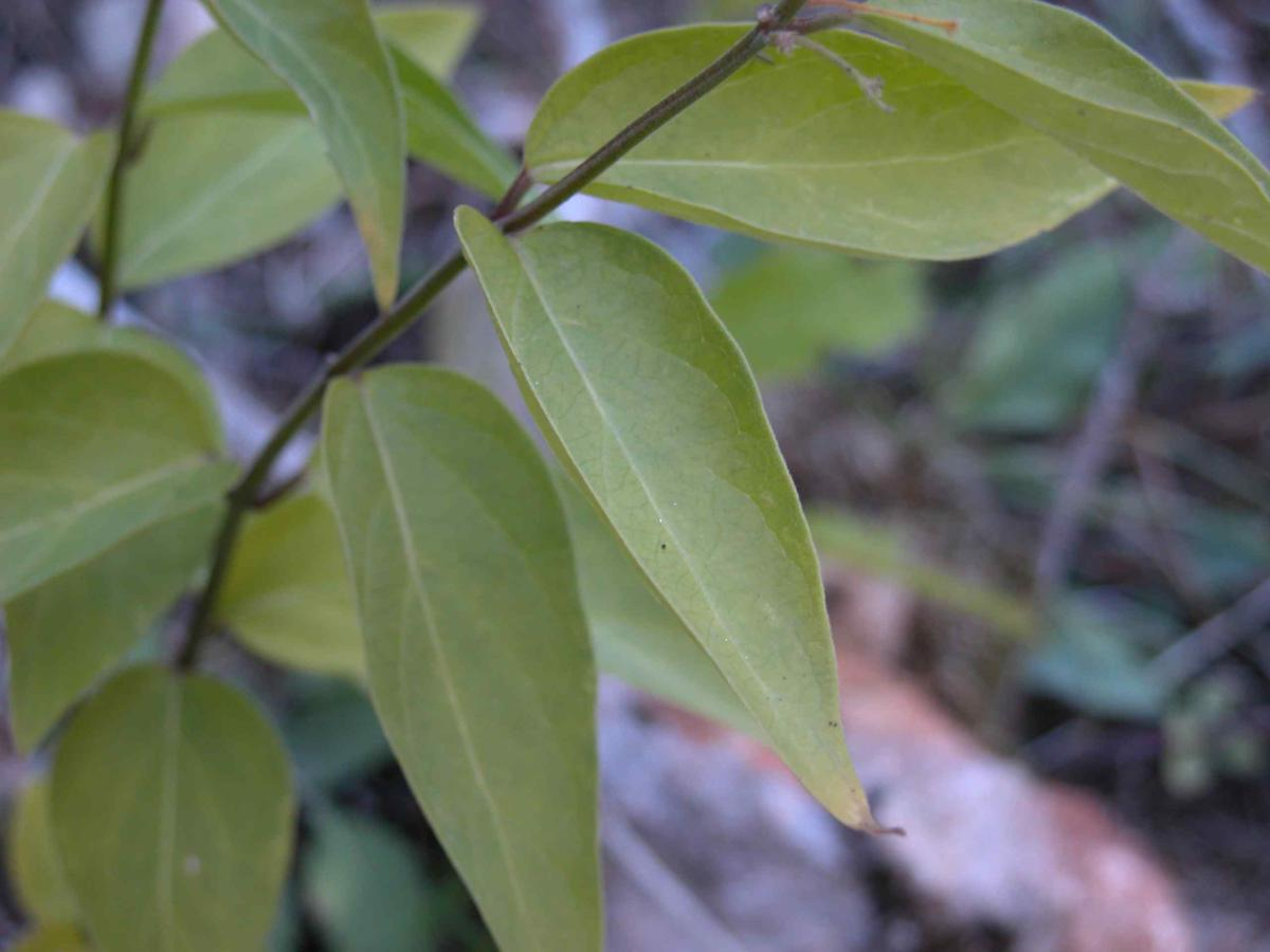 Swallow-wort leaf