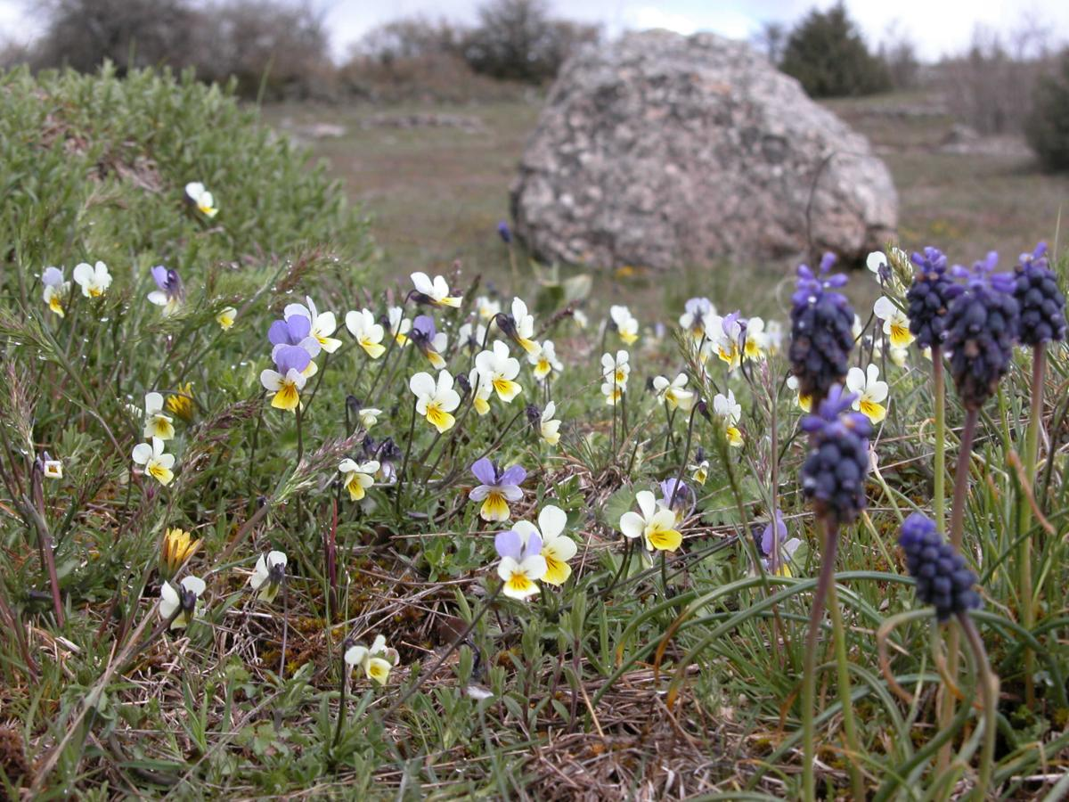 Pansy, Wild, Heartease plant