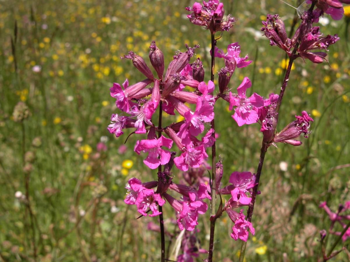 Catchfly, Red German